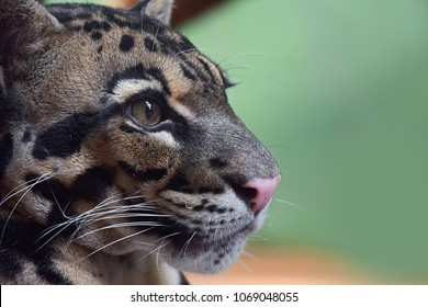 Extreme close up profile portrait of young clouded leopard (neofelis nebulosa) looking away, low angle view