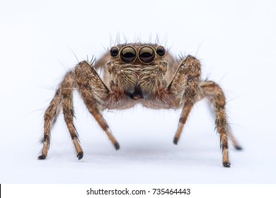 Extreme Close Up Shot Bug , Insect Jumping Spider Isolated On White Background.