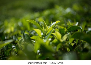 An extreme close up of a tender tea leaf from a tea estate. India is an exporter of some of the finest tea in the world.