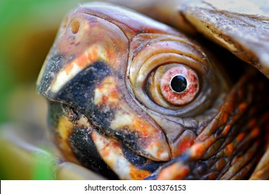 Extreme close up of Three-toed box turtle face and eyes (Terrapene carolina triunguis)