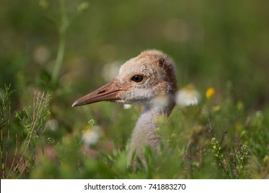 Extreme close up of very young sandhill crane
