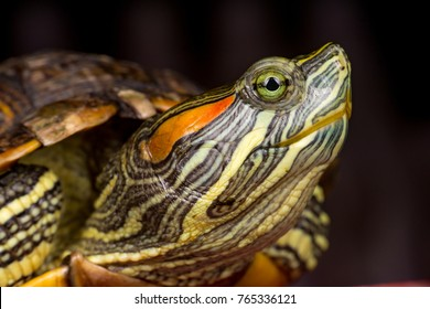 The extreme and close up view of green female red-eared slider turtle tortoise (Chordata: Reptilia: Testudines: Cryptodira: Emydidae: Trachemys scripta elegans) lifts its head, stretches neck
