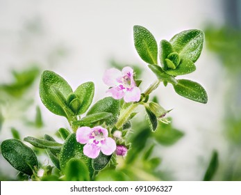 Extreme close up view of Thyme flowers on thyme sprig