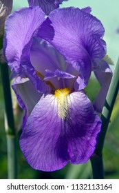 Extreme close up of a vividly colorful, purple iris flower, itspetal wide open with hairy yellow stamen reaching out to be pollinated