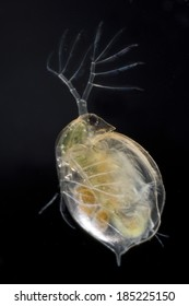 Extreme close up of a water flea (Daphnia magna) showing eggs, isolated on black background