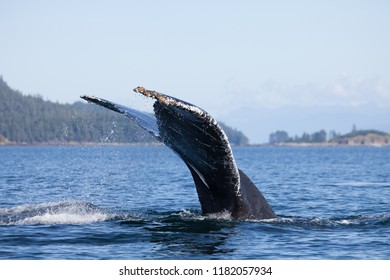 Extreme Close Up Whale Tail Diving