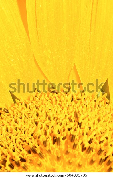 Extreme close-up of center of large yellow flower