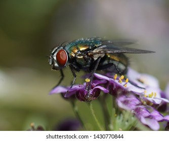 Extreme closeup of  a common housefly  with shiny metallic colors on pink flowers