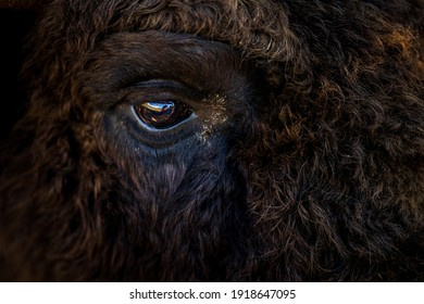 Extreme close-up with the eye of a brown wisent (European bison) located in its natural environment in a reservation in southern Romania. Endangered species among wildlife.