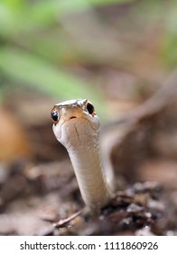 Extreme Closeup focus stacked Image of an Eastern Ribbon Snake Crawling Right Toward You