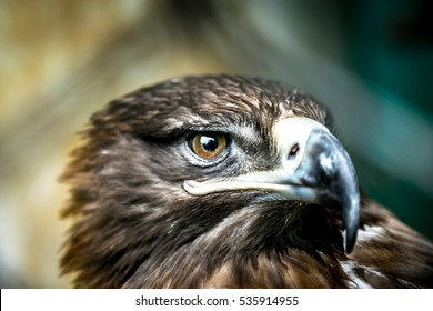 Extreme closeup of an Indian eagles with Eyes in focus looking into camera with very detailed eyes
