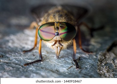 Extreme closeup macro front/face photograph of a Horsefly (Tabanoidea) showing large compund eyes, hairy legs and body.