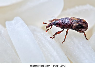 Extreme closeup macro photography of 2mm of size Sitophilus oryzae or Rice Weevil.