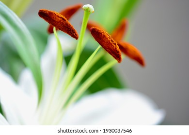 Extreme close-up macro shot of white lily with pollen covered over the ends of the stamen. The sweet and innocent beauty of the lily flower symbolises purity and fertility