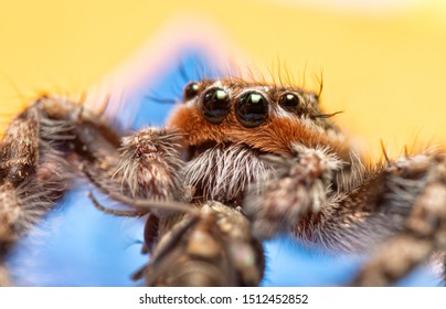 Extreme closeup of a male Tan Jumping Spider's rusty brown and white haired face while he is eating a fly