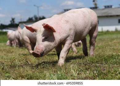 Extreme closeup photo of a cute piglet on farm summertime