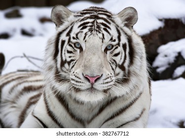 Extreme closeup portrait of a white bengal tiger, lying on snow. Wild beauty of the most dangerous beast of the world. Eye to eye contact with the biggest cat.