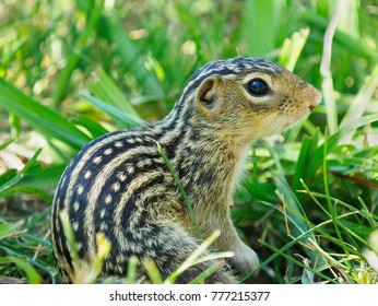 Extreme Closeup of a Thirteen-Lined Ground Squirrel in the Tall grass