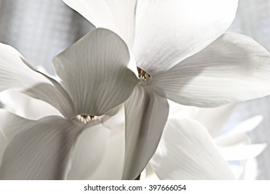 Extreme close-up of two pure white blossoms of cyclamen which illustrates their floral shadow play against a metal sequined background in a second view.