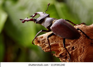 Extreme closeup.Stag beetle sitng on the wooden branch . beetles background.Macro.Stacked photo - deep focus image.