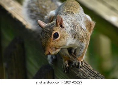 Extreme closup of a grey squirrel