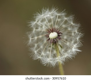 Extreme Depth of Field With a Dandilion Partially Blown Away Seeds Exposed