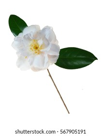 Extreme Depth of Field Photo of a Single White Camellia Isolated on White