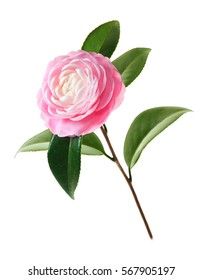 Extreme Depth of Field Photo of a Single Pink Camellia Isolated on White