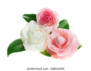 Extreme Depth of Field Photos of Pink and White Camellias Isolated on White