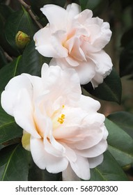 Extreme Depth of Field Photos of White Camellia Growing on the Bush