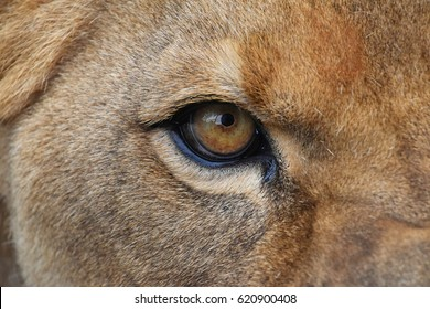 Extreme detailed close up of female African lioness eye looking at camera