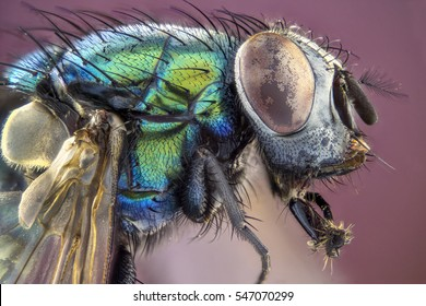 Extreme larger head green housefly, side view