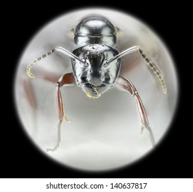 Extreme macro of a Carpenter ant, Campomotus modoc, found in Washington state. You can even see whiskers. Photographed with a microscope objective attached to a dslr camera, over 700 images stacked.