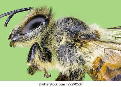 Extreme macro honey bee  bug insect (Apis mellifera)