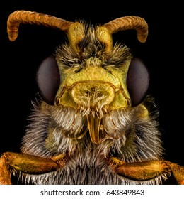 Extreme macro portrait of a Cuckoo Bee. Cuckoo Bees have the kleptoparasitic behavior of laying their eggs in the nests of other bees, reminiscent of the behavior of cuckoo birds