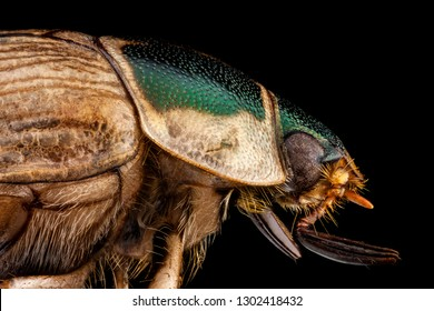 Extreme macro - Profile portrait of a Japanese beetle photographed through a microscope at x4 magnification
