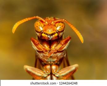 Extreme macro shot European hornet (Vespa crabro) busy building a hornet's nest.