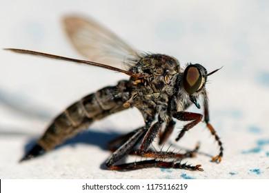 Extreme macro shot of a horsefly (Tabanidae).