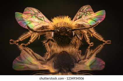 Extreme magnification - Honey Bee in the mirror