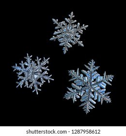 Extreme magnification: three snowflakes isolated on black background. Macro photo of real snow crystals: elegant stellar dendrites with ornate shapes, glossy relief surface and complex inner patterns.