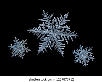 Extreme magnification: three snowflakes isolated on black background. Macro photo of real snow crystals: elegant stellar dendrites with ornate shapes, glossy relief surface and complex inner details.