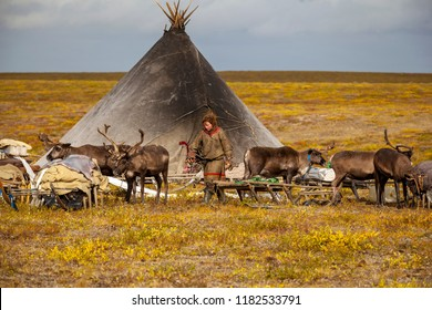 The extreme north, Yamal,   reindeer in Tundra , open area, assistant reindeer breeder,  the men  in national clothes