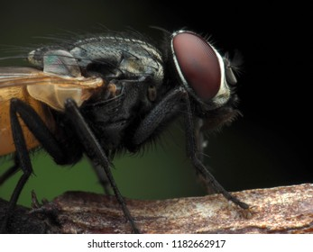 Extreme sharp  and detailed of fly (Diptera) macro at 5X magnification,  details  and lighting is very extensive and very clear.