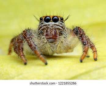 Extreme sharp and detailed of Jumping Spider (Salticidae) macro with background is beautiful.
