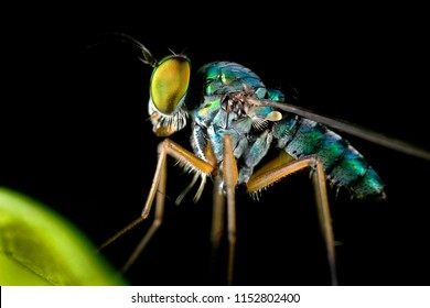 Extreme sharp and detailed of portrait Long-legged fly (Dolichopodidae) macro, Eye and face is very clear.This image is 3X macro magnification and no crop.