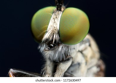 Extreme sharp  and detailed portrait of robber fly (Asilidae) macro at 5X magnification, detail on eye and face very clear.
