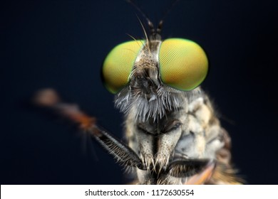Extreme sharp  and detailed portrait of robber fly (Asilidae) macro at 3X magnification, detail on eye and face very clear.