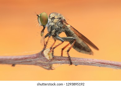 Extreme sharp  and detailed portrait of robber fly (Asilidae) macro at 3X magnification, detail on eye and face very clear.This wildlife from asia thailand.Take image with super macro equipment.