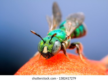 Extreme sharp and detailed portrait of Small carpenter bee, Ceratina (Pithitis)   macro, It has a colorful body, stand on the branch, eye  and face are very clear. This take from supermacro equipment.