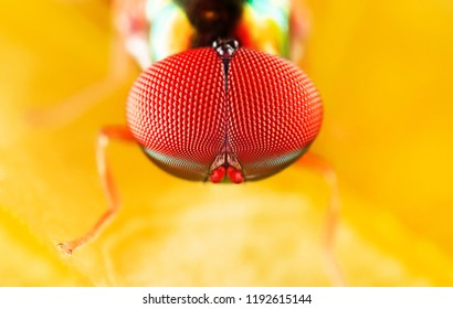 Extreme sharp and detailed of Soldier Fly (Stratiomyidae) at 5X magnification macro,  details  and lighting is very colorful and clear.